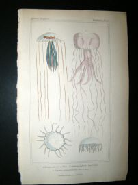 Cuvier C1835 Antique Hand Col Print. Sealife #14 Jellyfish